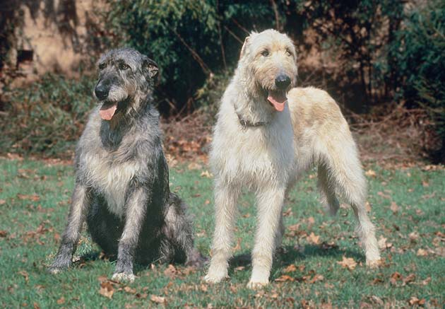 O σκύλος Irish Wolfhound...